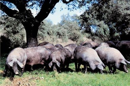 Semana Santa en Ciudad Rodrigo - piara de cerdos ibericos