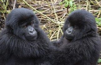 Uganda. Gorila Express